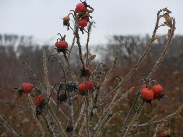 Rose Hips, Winter