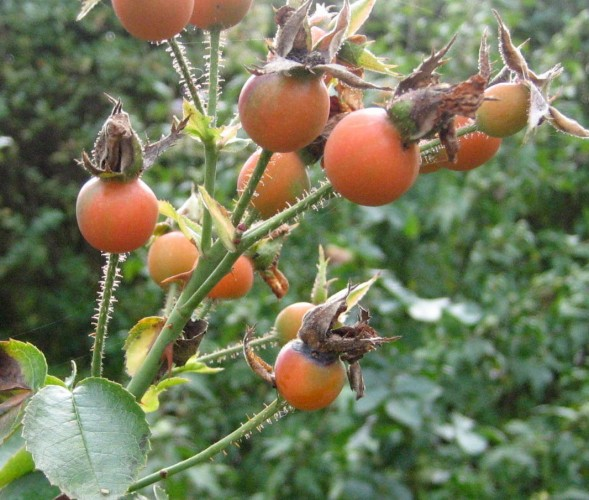 Rose hips, August