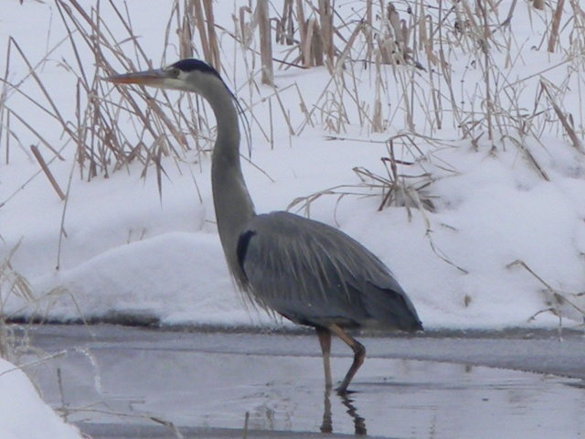 Great Blue Heron in Winter. Photograph by Lucas MacCormack.