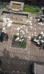Magnolia in Spring Wind